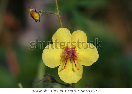 Moth Mullein Flower On A Stem Stock photo © brm1949