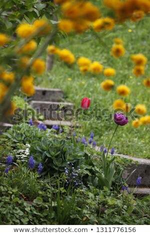 Spring meadow with pink and yellow tulips Stock photo © vladacanon