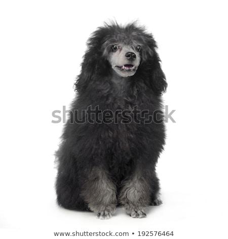 güzel · siyah · kaniş · köpek · yalıtılmış · beyaz - stok fotoğraf © vauvau