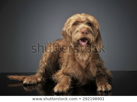 wired hair hungarian vizsla relaxing in dark background Stock photo © vauvau