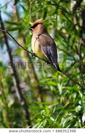 cedro · albero · uccello · colore · naturale · orizzontale - foto d'archivio © pictureguy