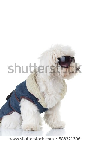 side view of a bichon puppy  wearing clothes and sunglasses  Stock photo © feedough