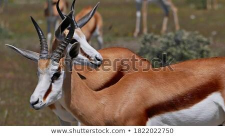 Two Springboks standing in the grass. Stock photo © simoneeman