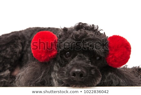 Triste peu caniche rouge couché Photo stock © feedough