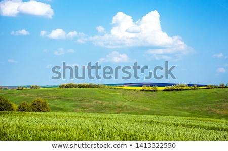 verde · campo · di · grano · blu · nuvoloso · cielo · estate - foto d'archivio © freeprod