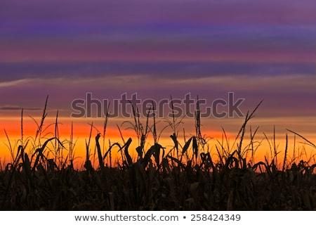 урожай время кукурузы куча асфальт Сток-фото © simazoran