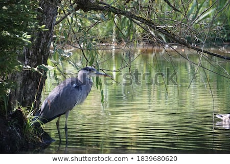 Reiger uit natuur naast water vogel Stockfoto © boggy