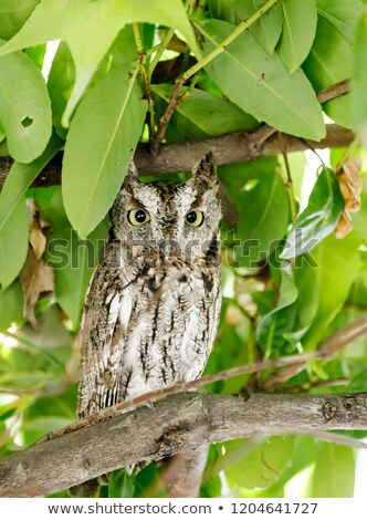 coastal great horned owl juvenile in the wild stock photo © yhelfman