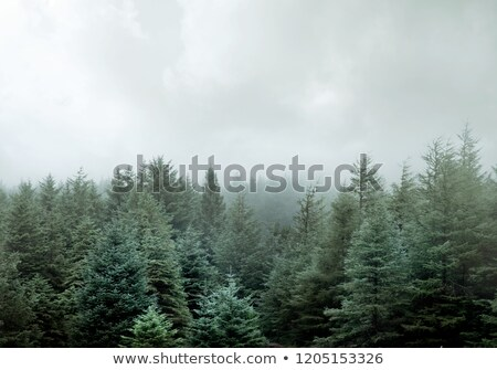 Wild Pine Forest In Low Clouds And Fog Stock photo © solarseven