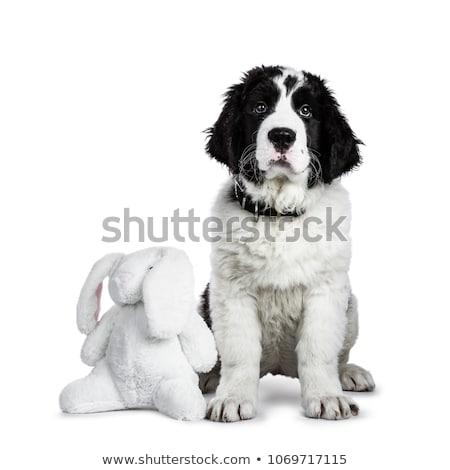 Zwart wit puppy cute leggen beneden hoofd Stockfoto © CatchyImages