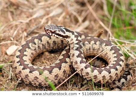 aggressive male Vipera berus in natural habitat Stock photo © taviphoto