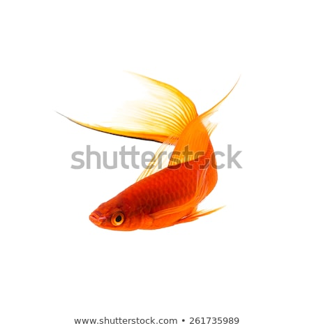 goldfish and swordtail fish isolated on white stock photo © robuart