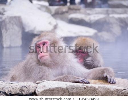 Japans sneeuw aap park dieren natuur Stockfoto © dolgachov