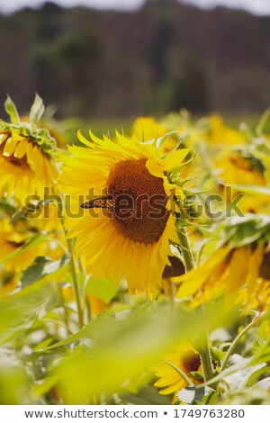 Monarch butterfly resting on a sunflower in the summer sun Stock photo © flariv