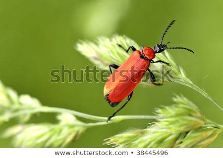 Macro cardinal beetle on grass stock photo © Musat