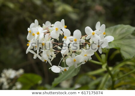 tropical flower, Grenada Stock photo © phbcz