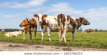 Three white cow standing on pasture Stock photo © frank11