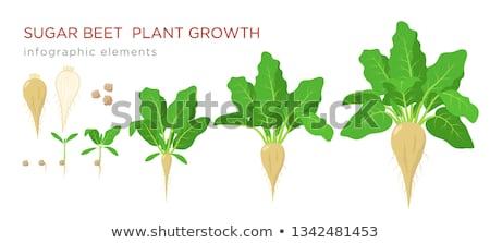 Sucre jeunes vert alimentaire paysage feuille Photo stock © eltoro69