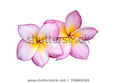 Plumeria flowers on white background Stock photo © Kheat