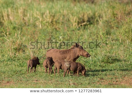 mud covered warthogs feeding on grass stock photo © avdveen