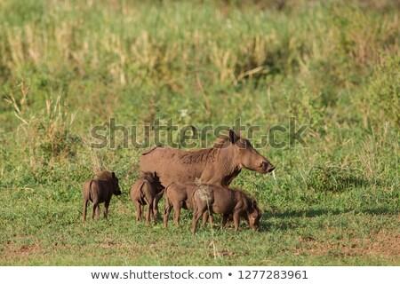 sár · park · Dél-Afrika · víz · állat · afrikai - stock fotó © avdveen