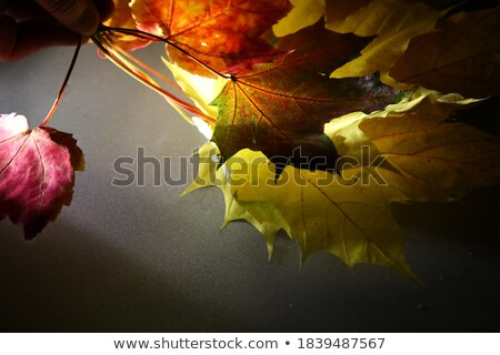 Dead leaves illuminated from behind Stock photo © sqback