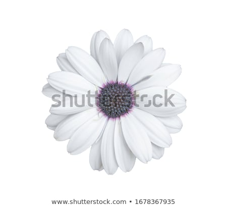 roze · paars · daisy · bloem - stockfoto © stocker