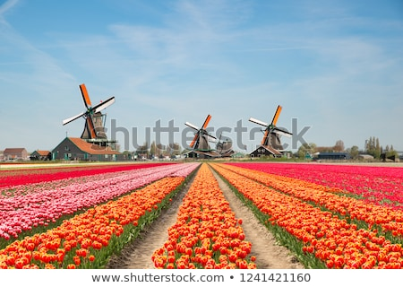 Tulip gardens in the Keukenhof.  Stock photo © lypnyk2
