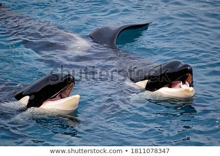 Stok fotoğraf: Detail Of Two Orcas