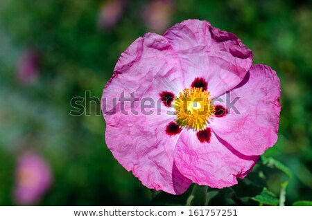 Rock rose purple flower detail  Stock photo © AlessandroZocc