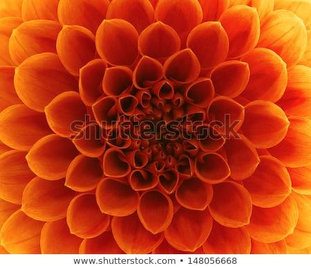 красный цветок цветы оранжевый Сток-фото © jeancliclac