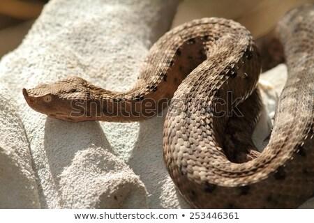 sand viper in leather glove Stock photo © taviphoto