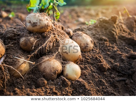 krumpli · mezők · homokos · föld · Tanzánia · férfi - stock fotó © JFJacobsz