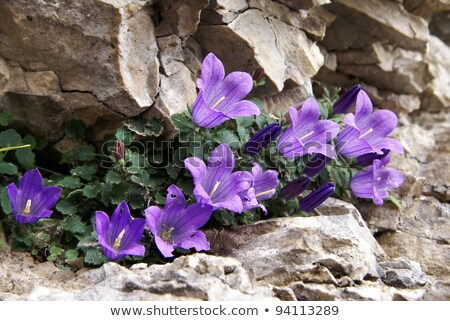 Purple bell flowers on rock Stock photo © pixachi