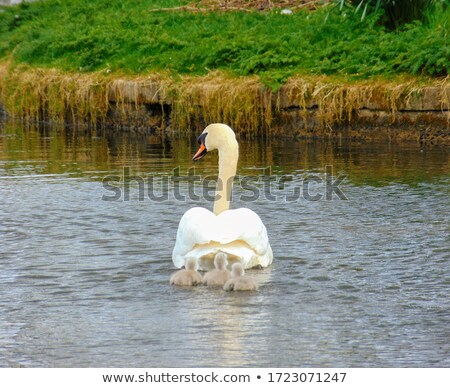 Three Mute Swan cygnets swimming on a pond Stock photo © brianguest