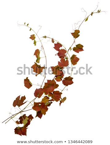 Maple tree with ivy on a white background Stock photo © Zerbor