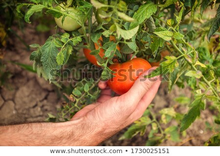 Healthy Homegrown Tomatoes Stock photo © More86