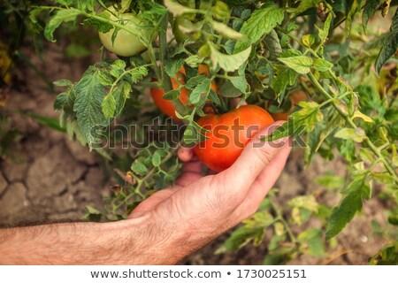 sağlıklı · domates · doğal · büyümüş · bahçe · meyve - stok fotoğraf © More86