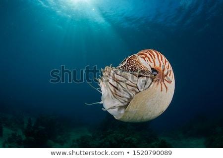 Nautilus -Nautilus pompilius Stock photo © bluering