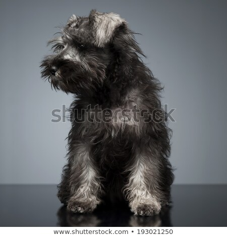 Puppy Schnauzer staying in the studio table Stock photo © vauvau
