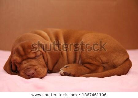 Węgierski posiedzenia biały Fotografia studio psa Zdjęcia stock © vauvau