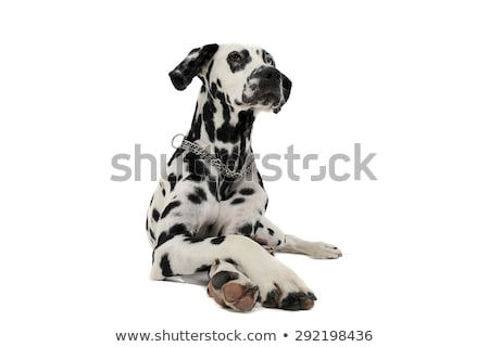 cute dalmatians lying with crossed legs in white background phot Stock photo © vauvau