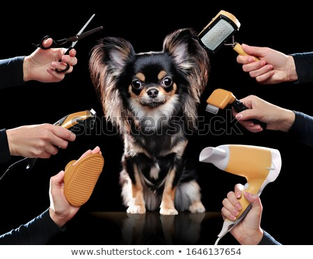 chihuahua drying and combing the beauty salon Stock photo © vauvau