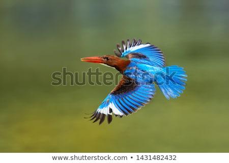 зимородок рыбы оранжевый синий Перу портрет Сток-фото © azamshah72