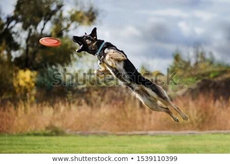 corrida · pastor · coleira · campo · cão · livre - foto stock © raywoo