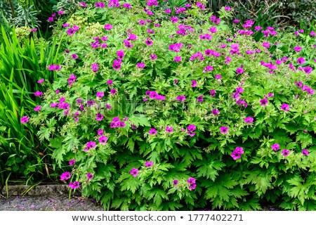 Mavi çiçek çayır doğa bahçe bitki Stok fotoğraf © Virgin