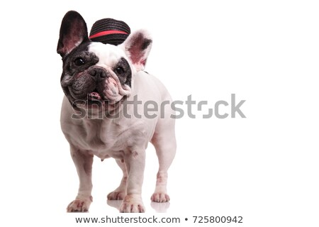 cute black french bulldog standing and panting stock photo © feedough