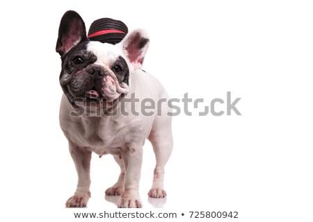 cute black french bulldog standing and panting Stock photo © feedough