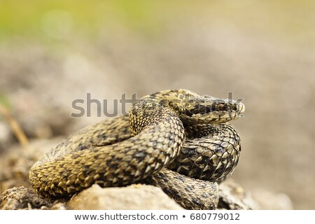 Naturelles habitat hongrois prairie serpent belle Photo stock © taviphoto