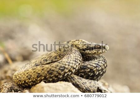 rzadki · łące · naturalnych · siedlisko · węża · kobiet - zdjęcia stock © taviphoto